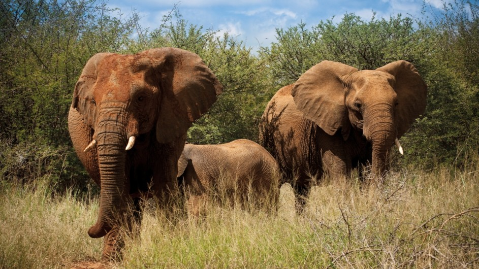 Südafrika Madikwe Safari Lodge Elefanten