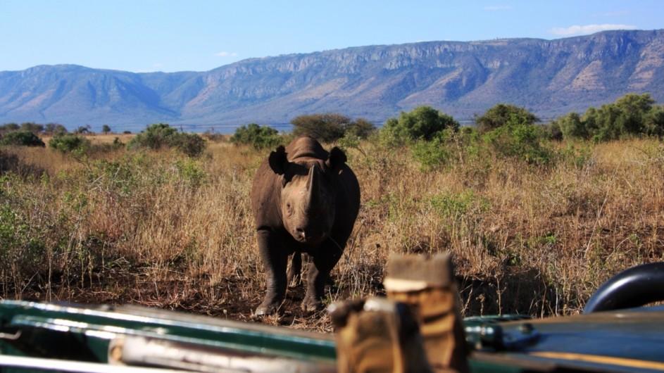 Südafrika Pondoro Game Reserve White Elephant Safari Lodge Nashorn auf Pirschfahrt