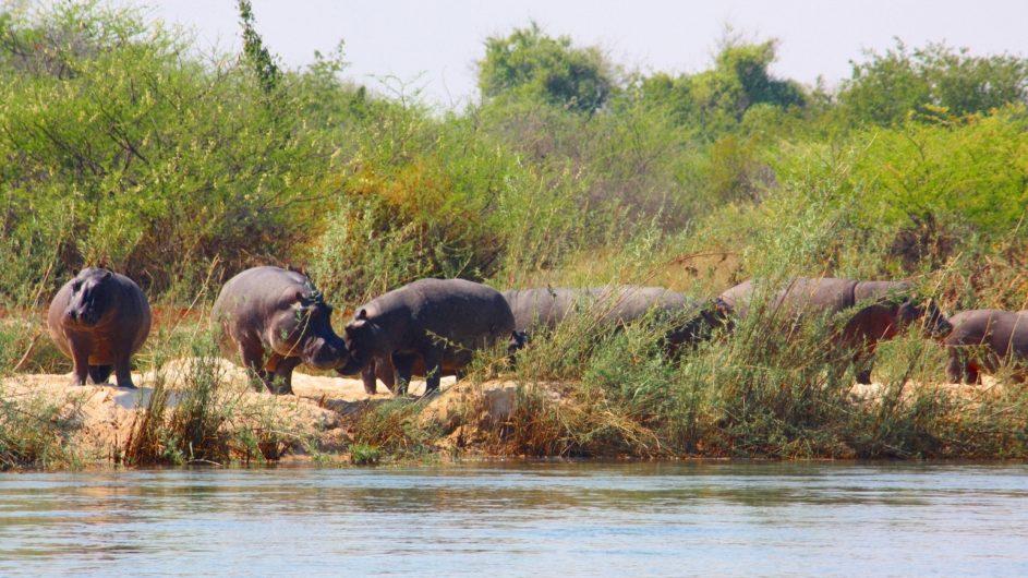 Namibia Caprivi Ndhovu Safari Lodge Nilpferde