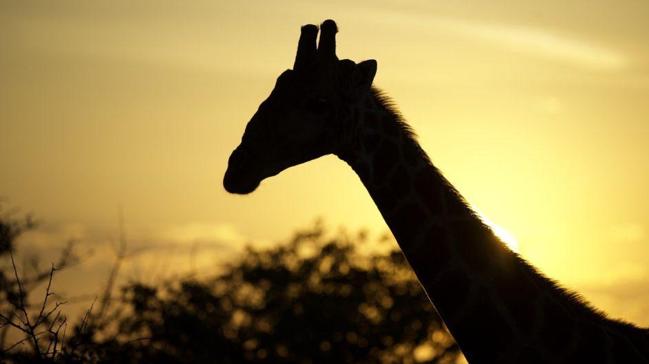 Namibia Etosha Nationalpark Ongava Tented Camp Giraffe