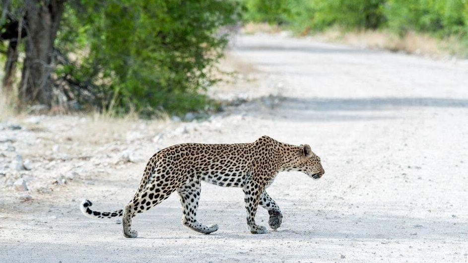 Namibia Etosha Nationalpark Onguma Leopard