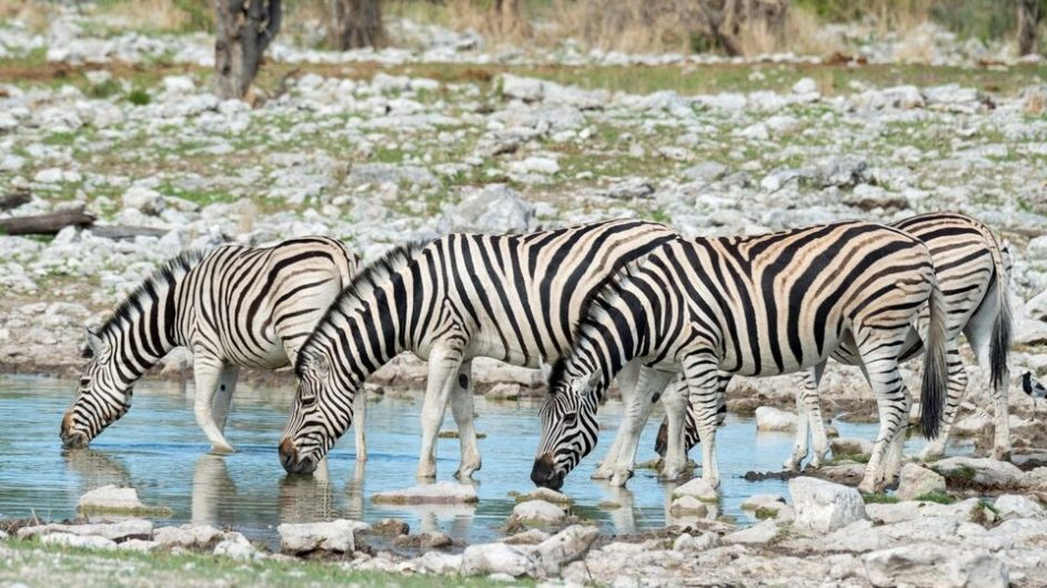 Namibia Etosha Nationalpark Onguma Zebras