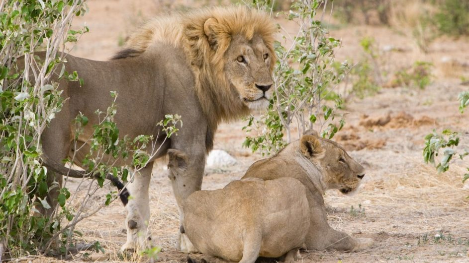 Namibia Etosha Nationalpark Villa Mushara Löwen