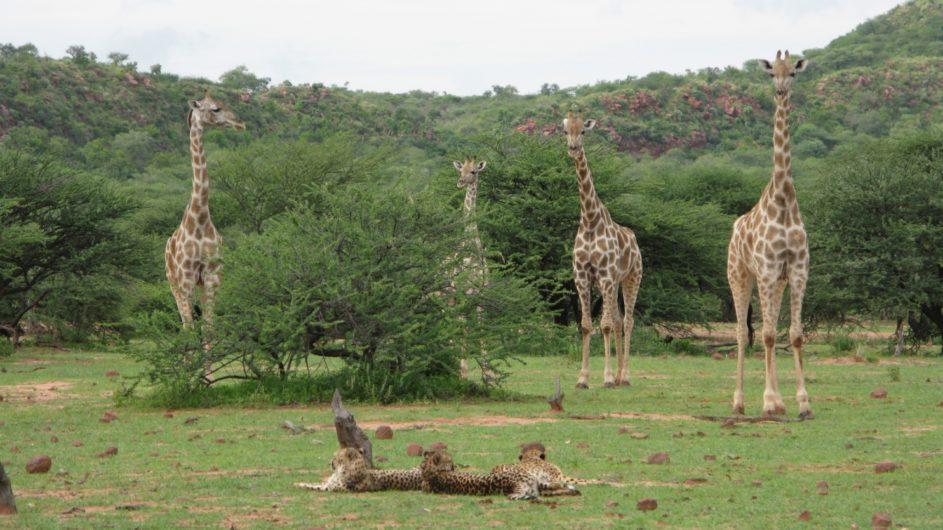 Namibia Okonjima Lodge Geparden und Giraffen