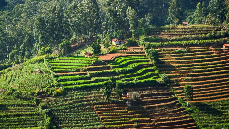 Sri Lanka Chamäleon Reisen Kleingruppenreise Kandy Reisterrassen nahe Nanuoya