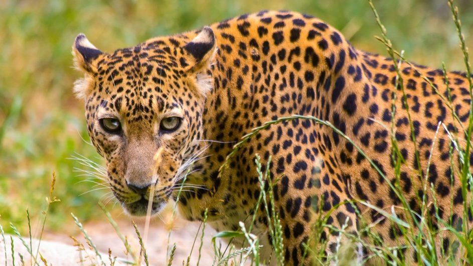 Sri Lanka Chamäleon Reisen Kleingruppenreise Kandy Leopard