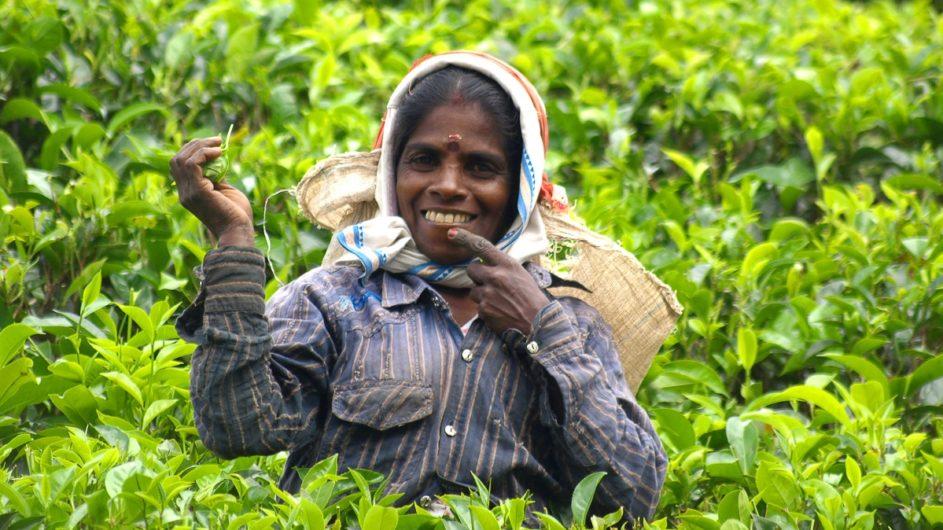 Sri Lanka Chamäleon Reisen Kleingruppenreise Kandy Teepflückerin