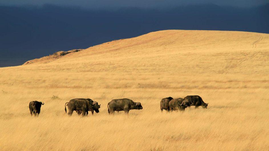Tanzania Sanctuary Ngorongoro Crater Camp Büffel