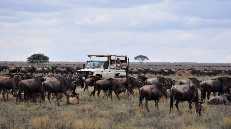 Tanzania Sanctuary Serengeti Migration Camp Pirschfahrt Gnuherde