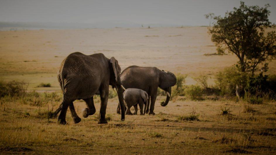 Tanzania Serengeti Asilia Olakira Camp Elefanten
