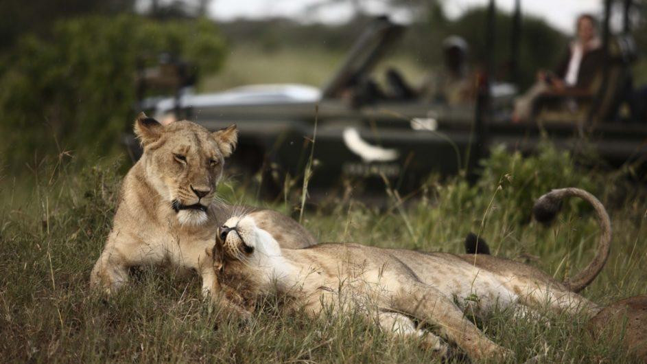 Tanzania Serengeti andBeyond Kleins Camp Pirschfahrt Löwen