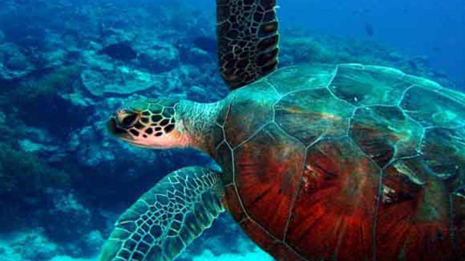 Tonga Haapai Sandy Beach Resort Schildkröte im Meer
