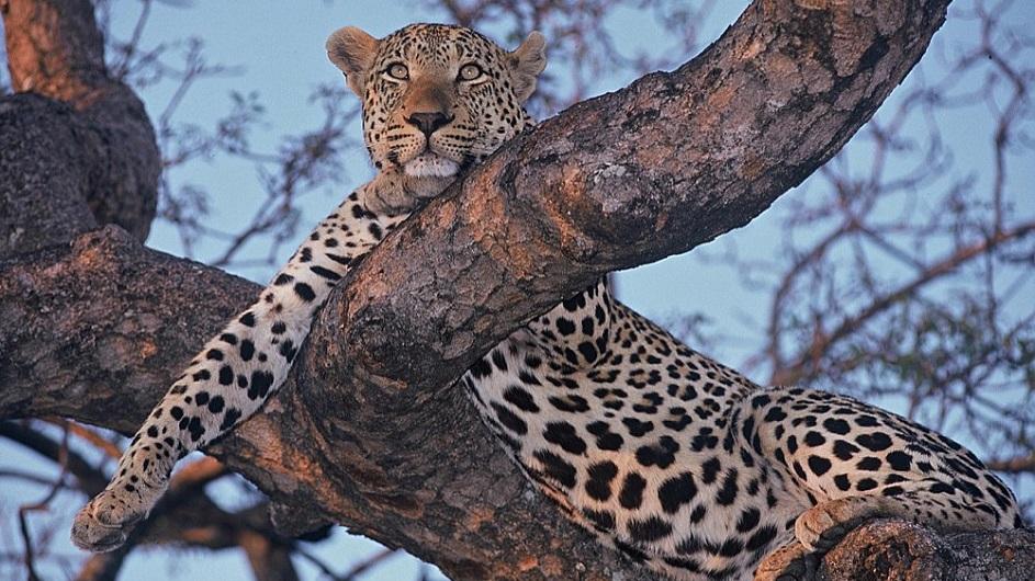 Südafrika - Dulini River Lodge - Leopard